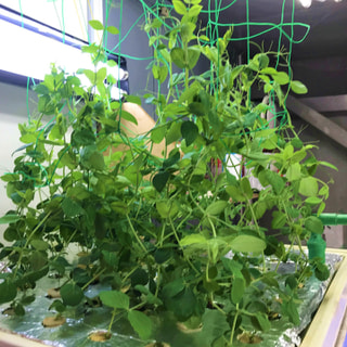 昭和基地での貴重な生野菜