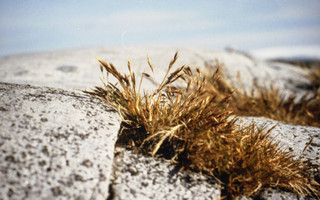 Deschampsia_antarctica